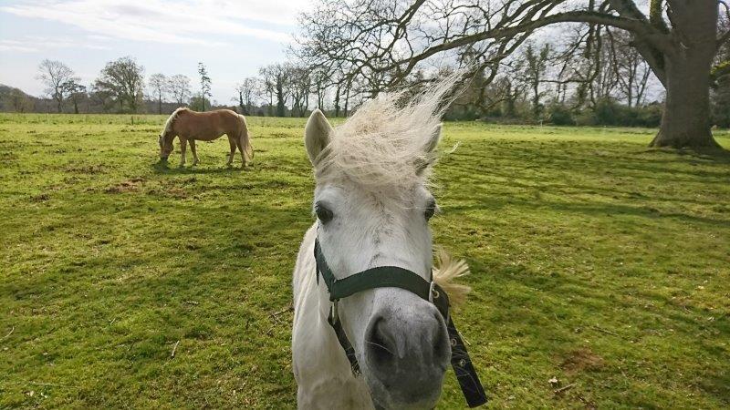 Ponies at the Leixlip Hotel and Gardens