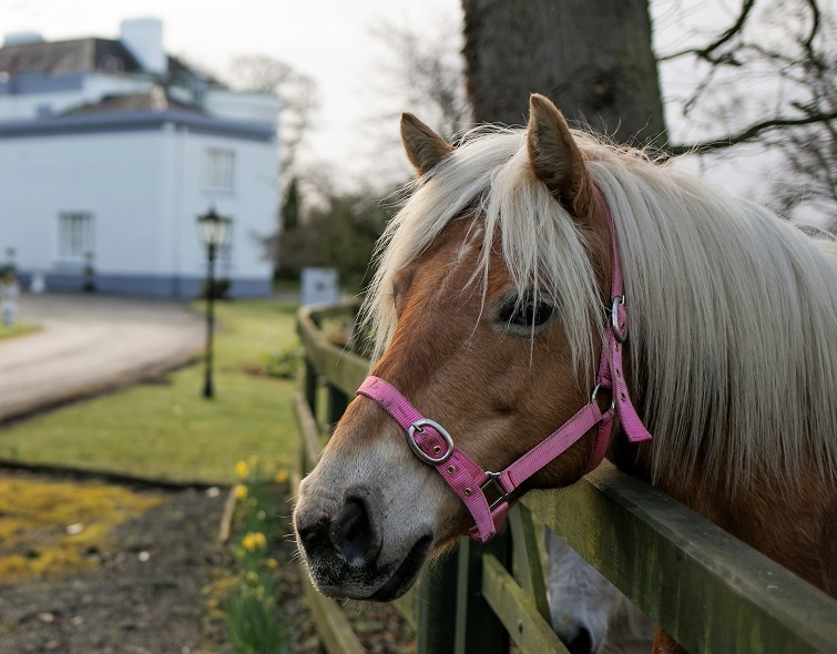 Golden Lady, Ponies at Leixlip Manor Hotel